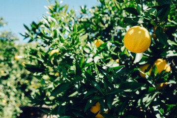 tree-lemon-fruit_convert_20160415171652